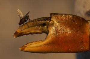 nr 25 Karin McMillan - Krabbeklo med flue