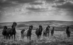 Nr 1-Fine Holten-Dartmoor ponies