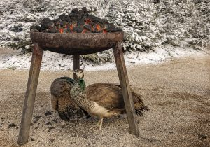 nr 24 Evelyn P Fiig - påfugle varmer sig