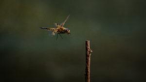 nr 22 Nils Hastrup - Guldsmed fireplettet Libel med insekt i munden