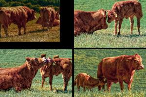 nr 10 Anders Buch Kristensen-Far, mor og kalv